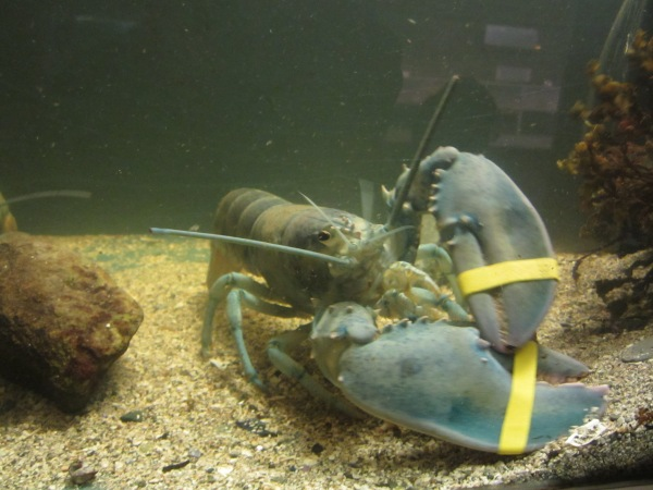 Blue lobsters occur naturally but rarely: only about one in every 1,000,000 lobsters is blue