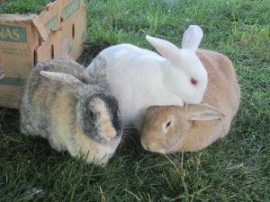 Henry's Rabbits