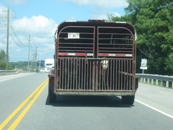Cow on a truck