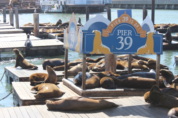 Fisherman's Wharf Seals